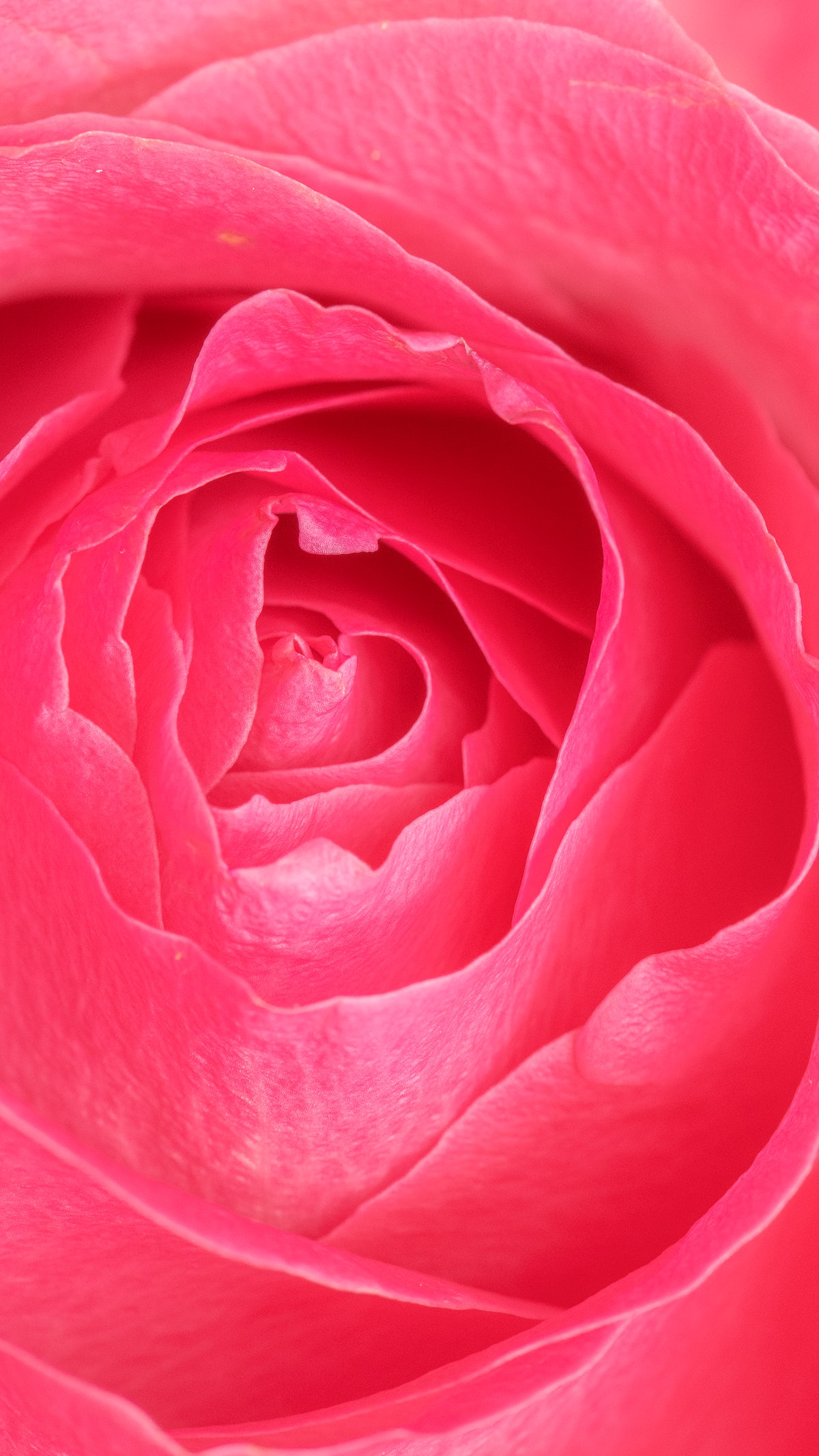 Vibrant Pink Rose Petals Macro Photography Mobile Wallpaper Royalty Free Photo 2279826