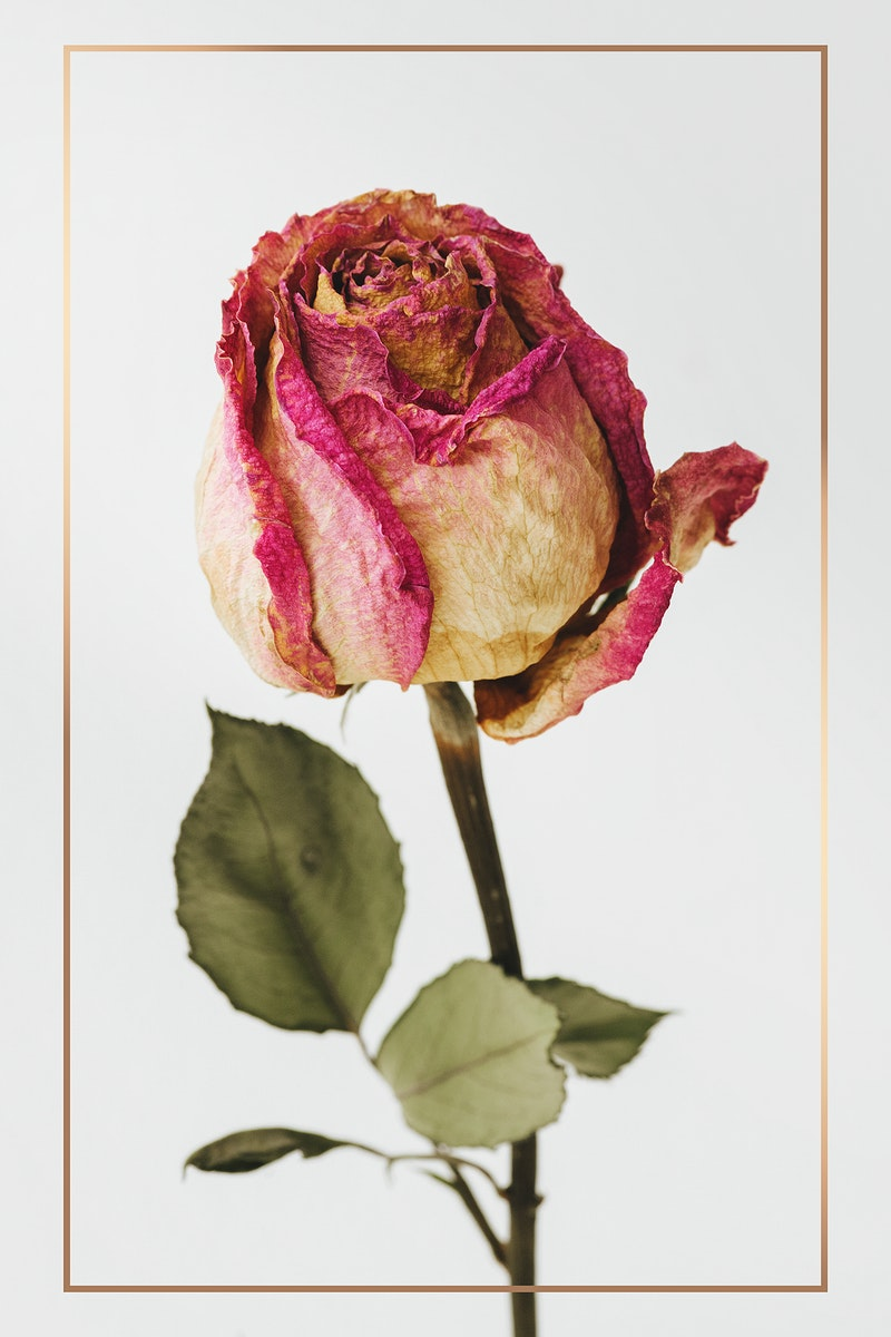 Gold frame over a dried pink rose