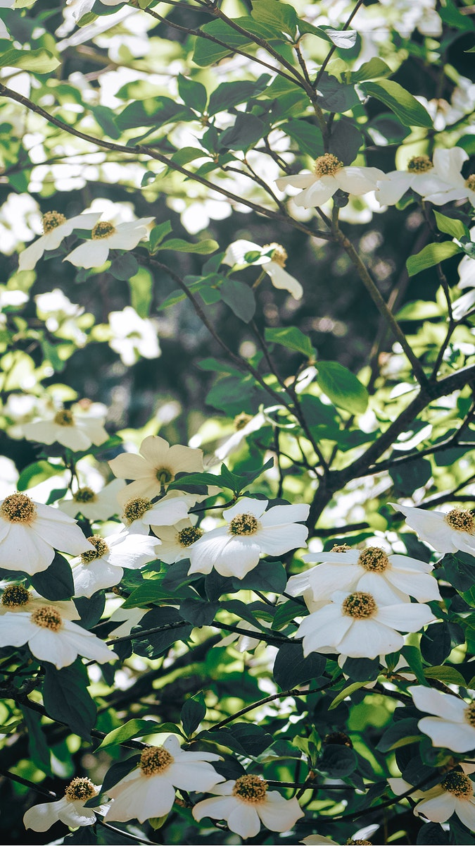 White flowers blooming on a tree mobile screen wallpaper