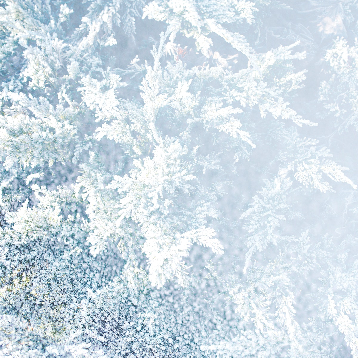 Closeup of spruce covered with snow