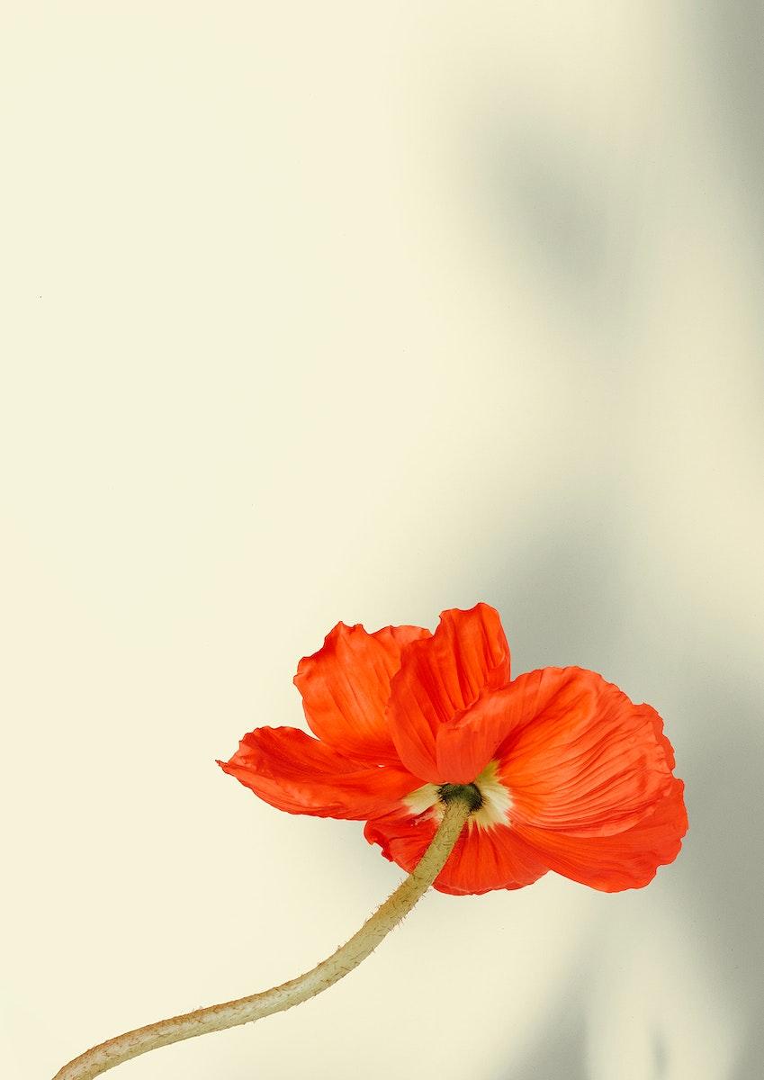 Red poppy flower on beige background