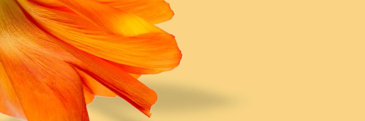 Closeup of red poppy flower petals on beige background