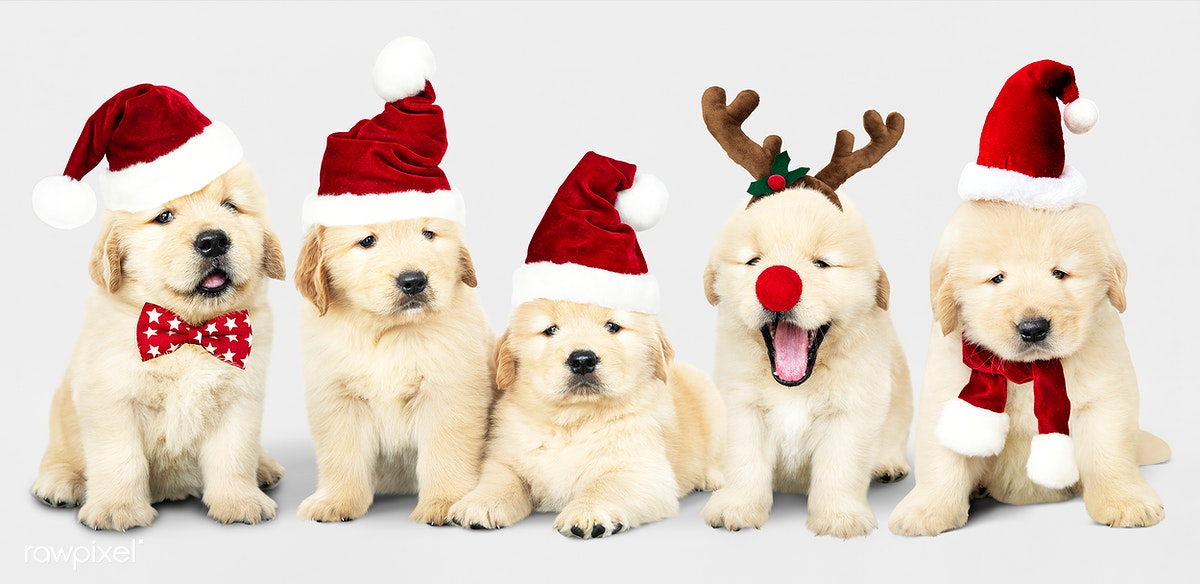 Cute Christmas Puppies.Download Premium Image Of Group Of Adorable Golden Retriever Puppies