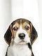Adorable Beagle puppy solo portrait