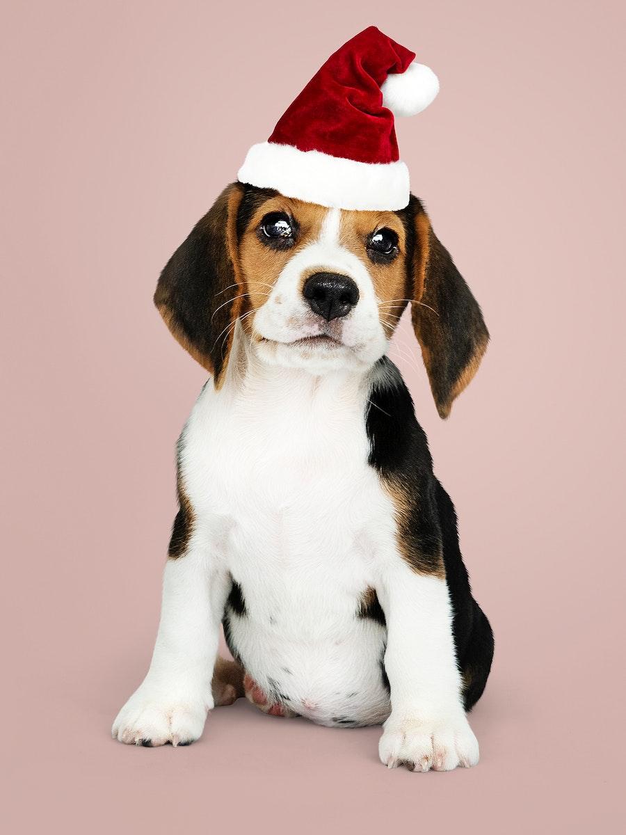 Adorable Beagle puppy wearing a Santa hat