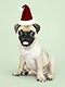 Adorable Pug puppy wearing a Christmas hat