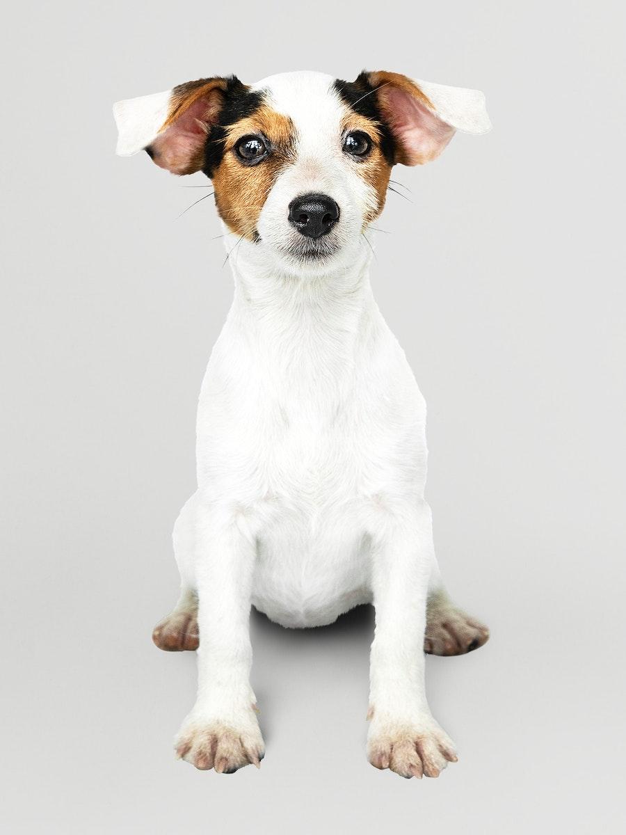 Adorable Jack Russell Retriever puppy portrait