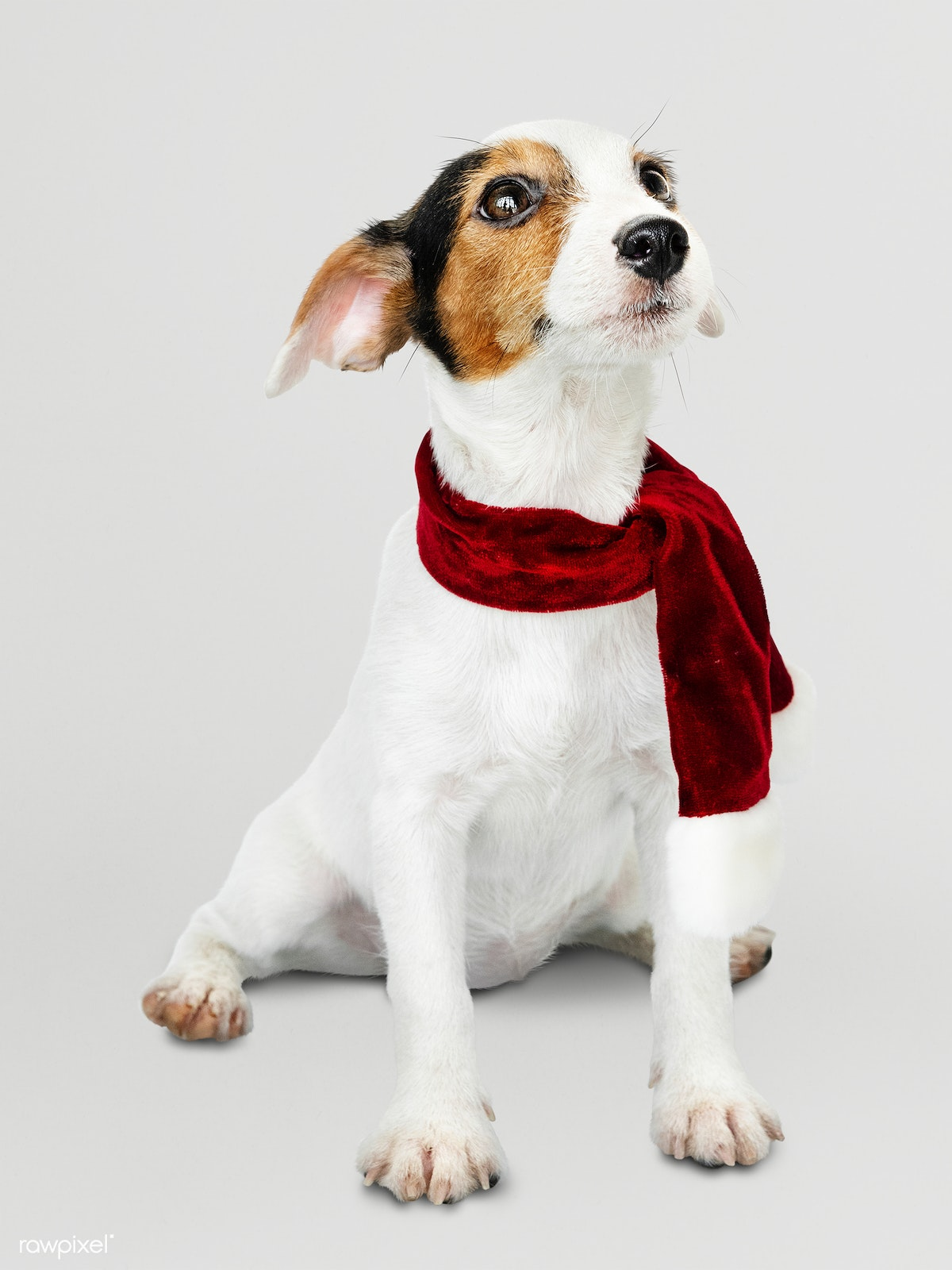 Download premium psd of Adorable Jack Russell Retriever puppy wearing a