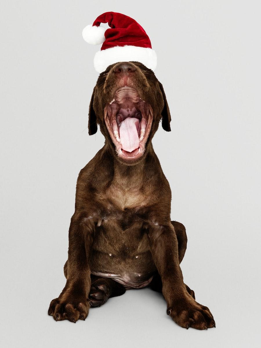 Portrait of a cute Labrador Retriever puppy wearing a Santa hat