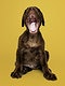 Adorable chocolate Labrador Retriever portrait