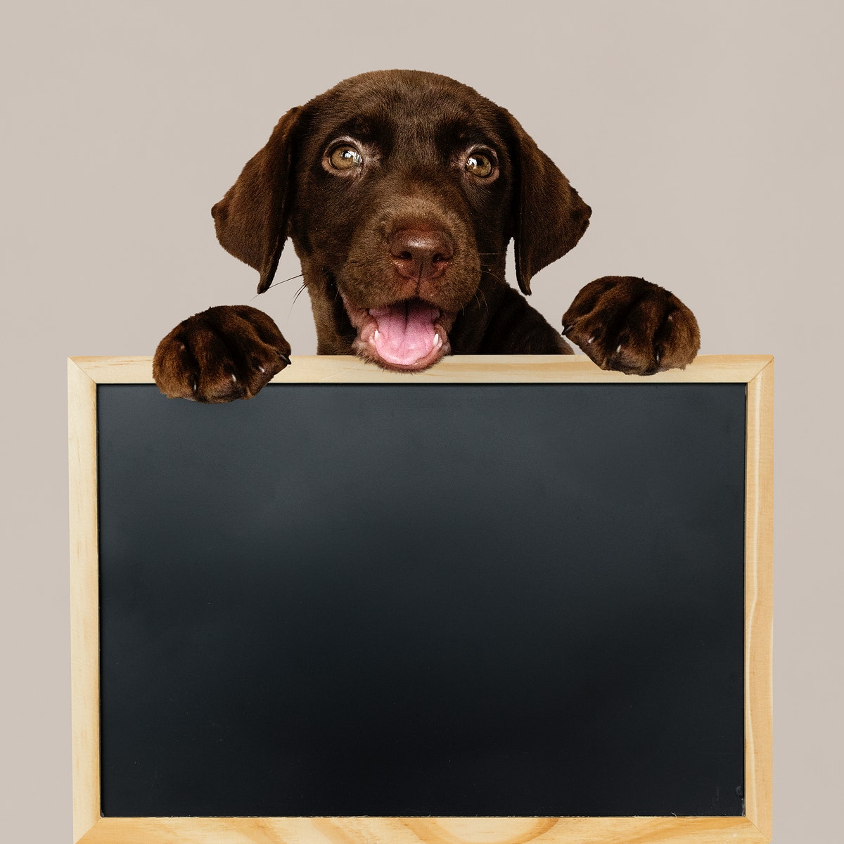 Adorable Labrador Retriever holding a blackboard mockup
