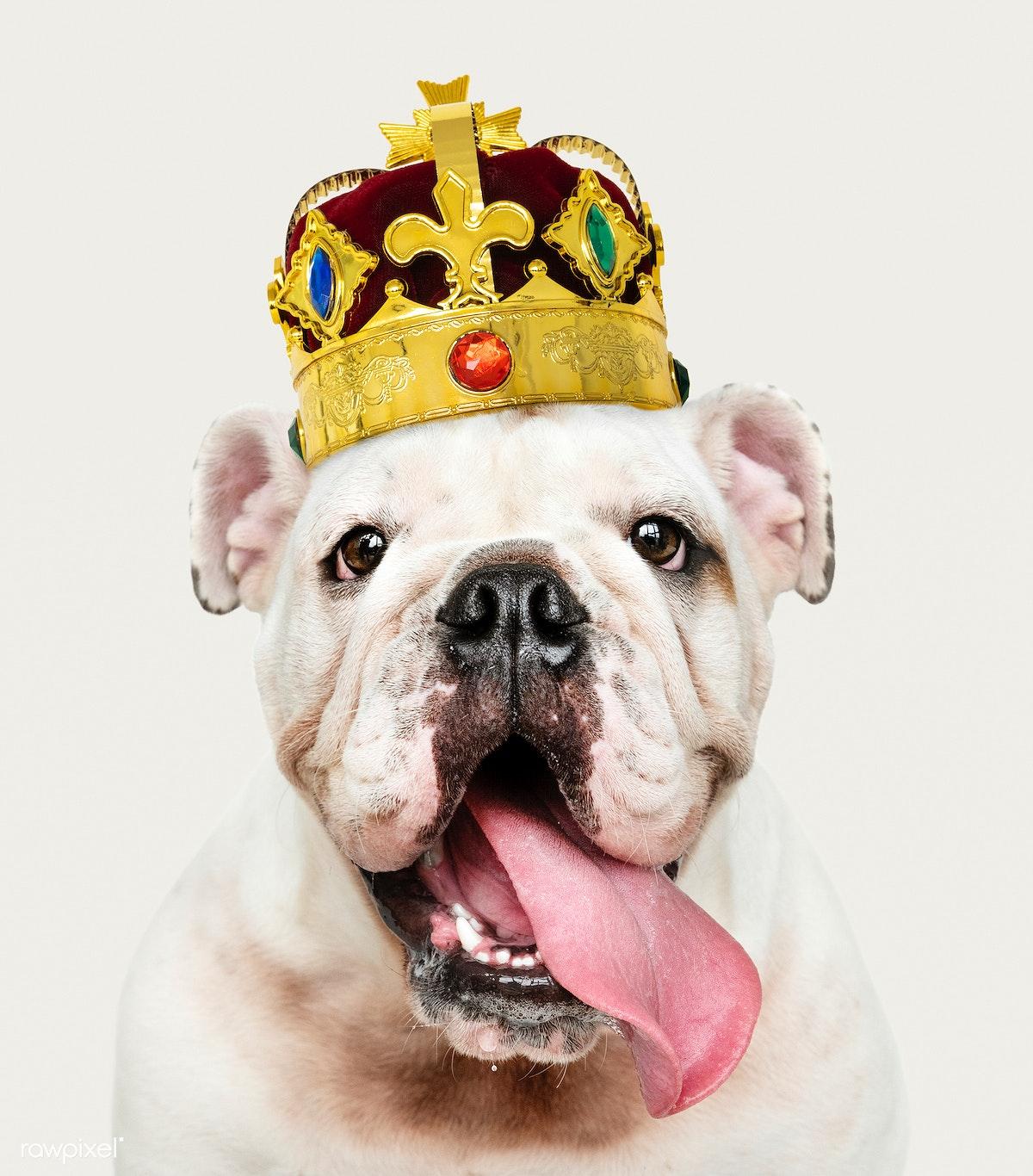 Download premium image of Cute white English Bulldog puppy in a classic