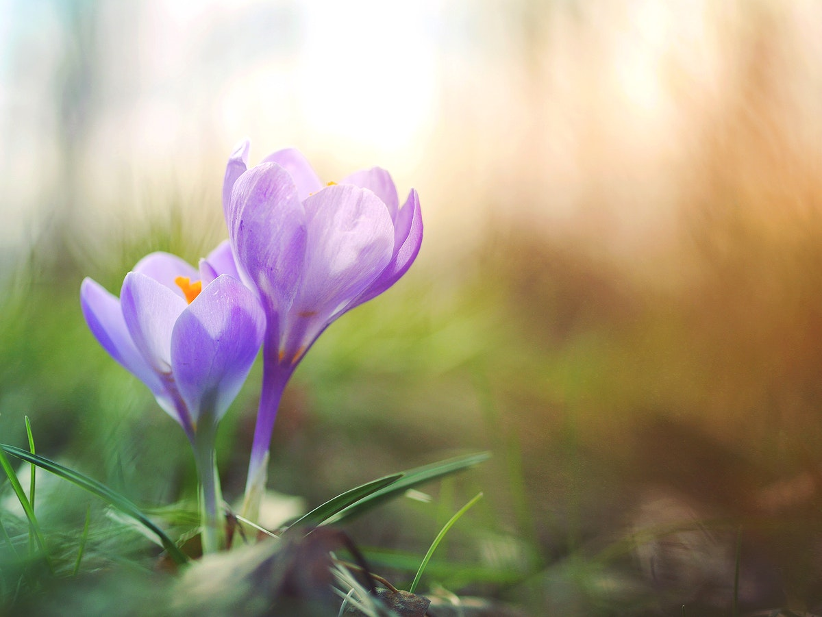 Macro of two purple crocus flowers in bloom in Spring. Original public domain image from Wikimedia Commons