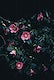 """Small pink camellia flowers among dark green leaves. Original public domain image from <a href=""""https://commons.wikimedia.org/wiki/File:Camelias_(Unsplash).jpg"""" target=""""_blank"""" rel=""""noopener noreferrer nofollow"""">Wikimedia Commons</a>"""