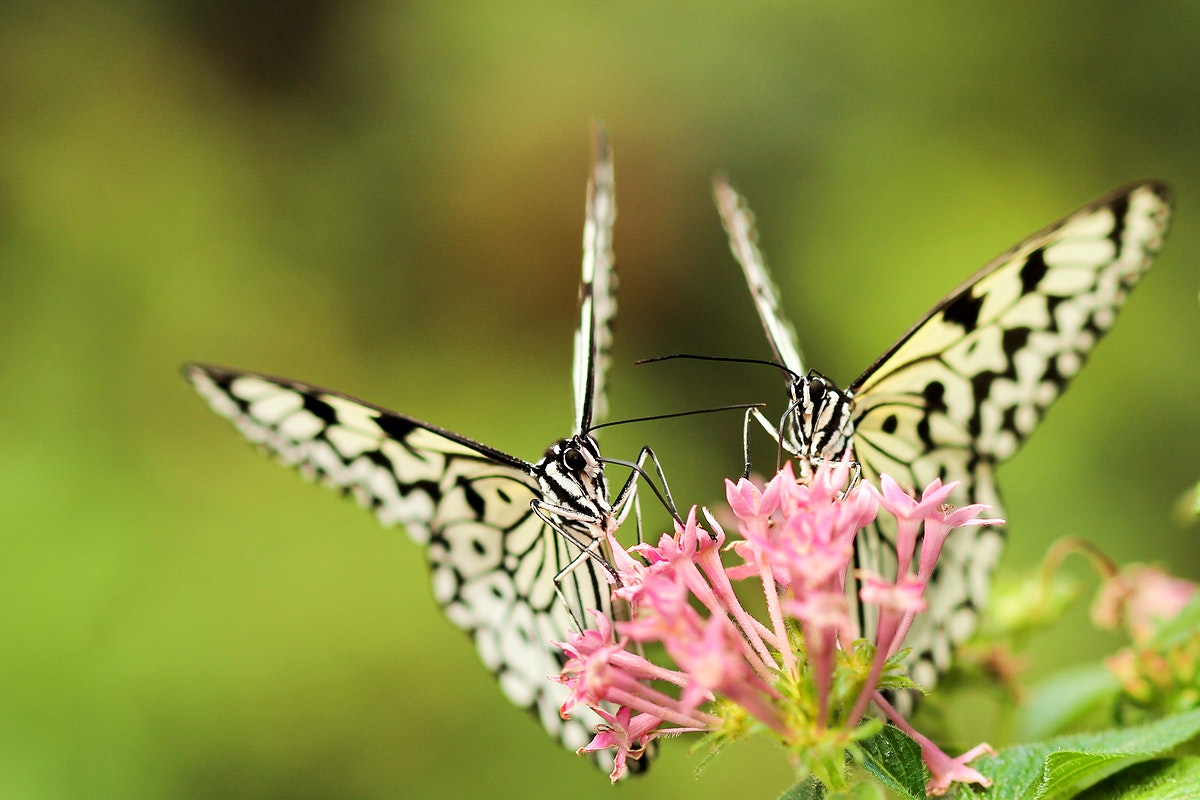 Two black-and-white butterflies on pink flowers. Original public domain image from Wikimedia Commons