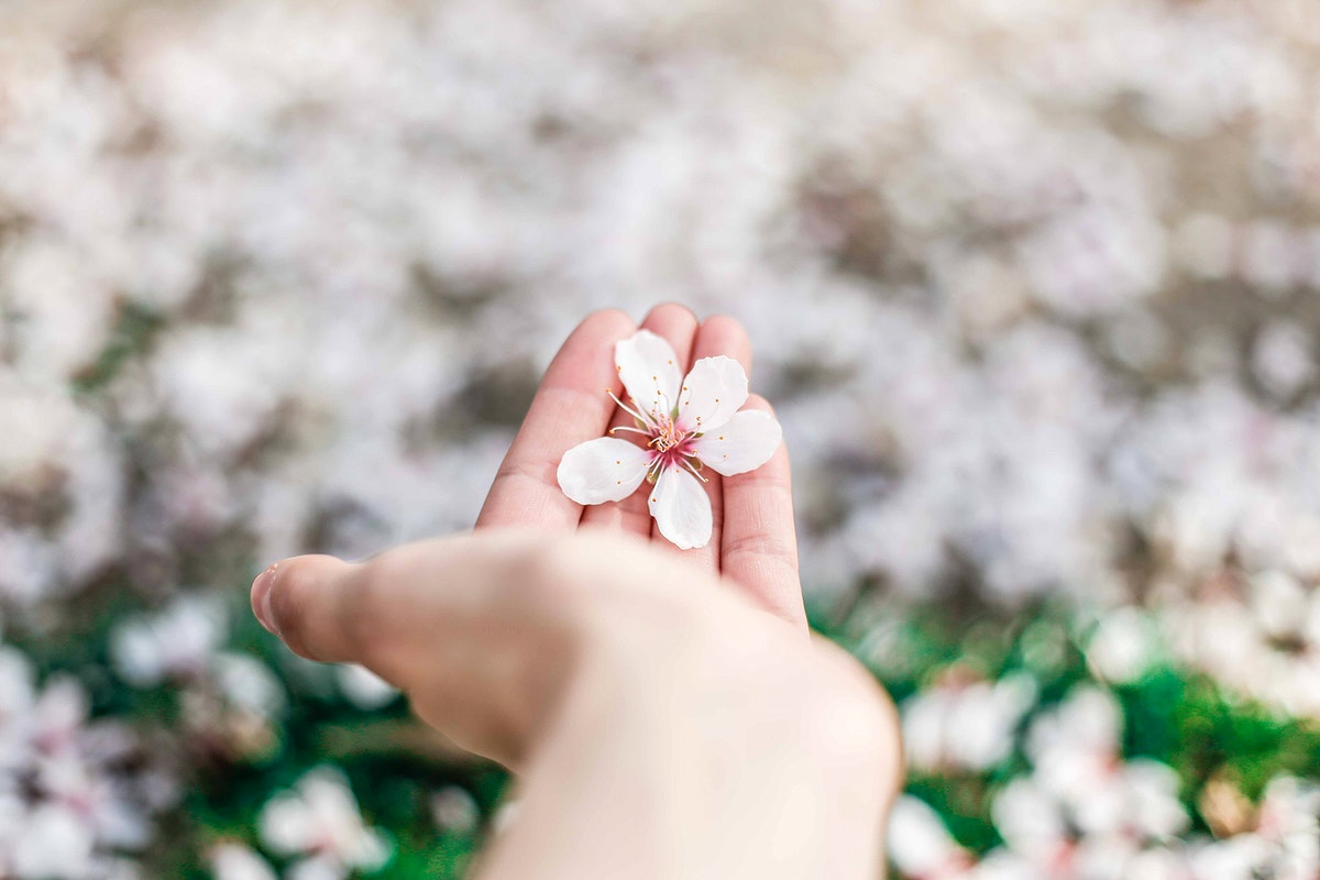 Hand holding cherry blossom with blossom on grass lawn below, Madrid. Original public domain image from Wikimedia Commons