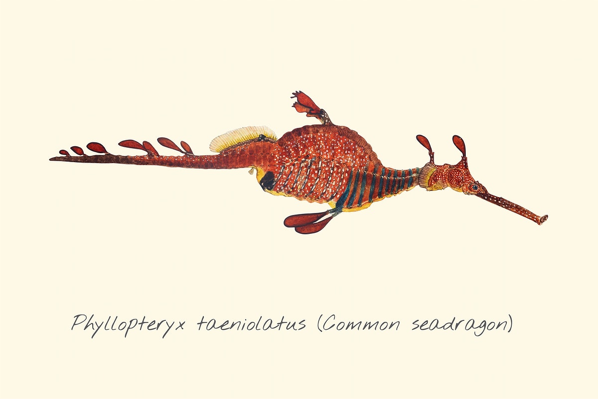 Drawing of a Common Seadragon
