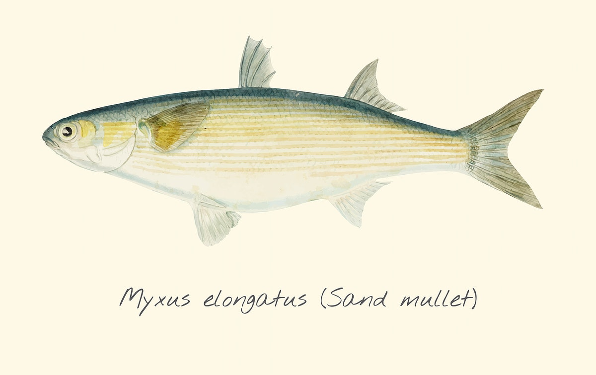 Drawing of a Sand Mullet fish