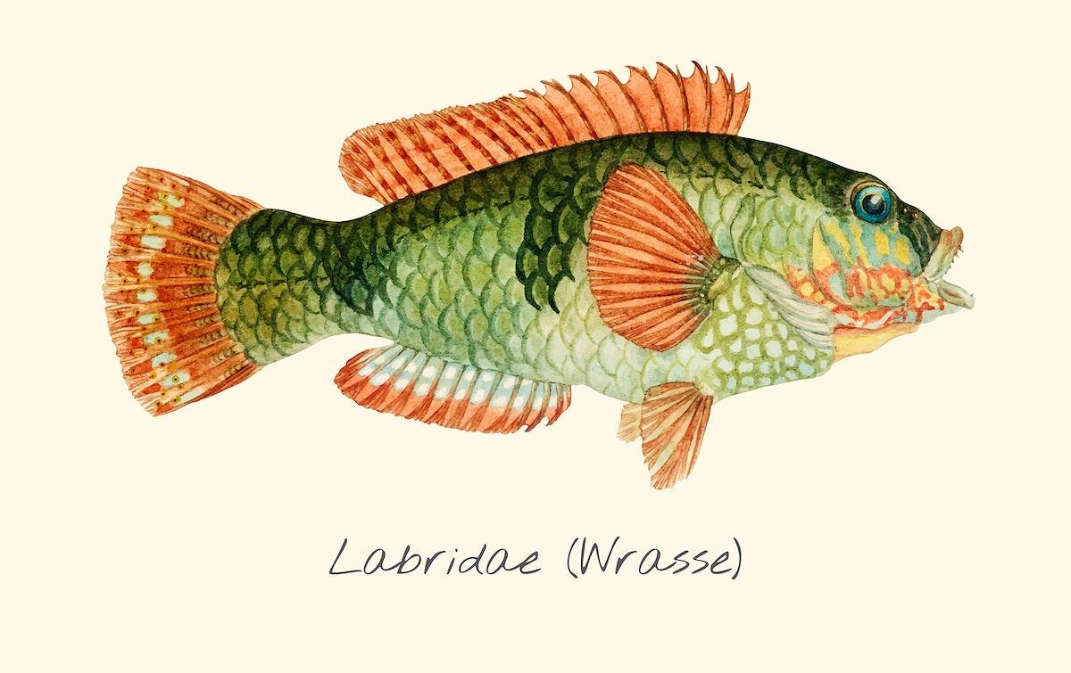 Wrasse fish vector