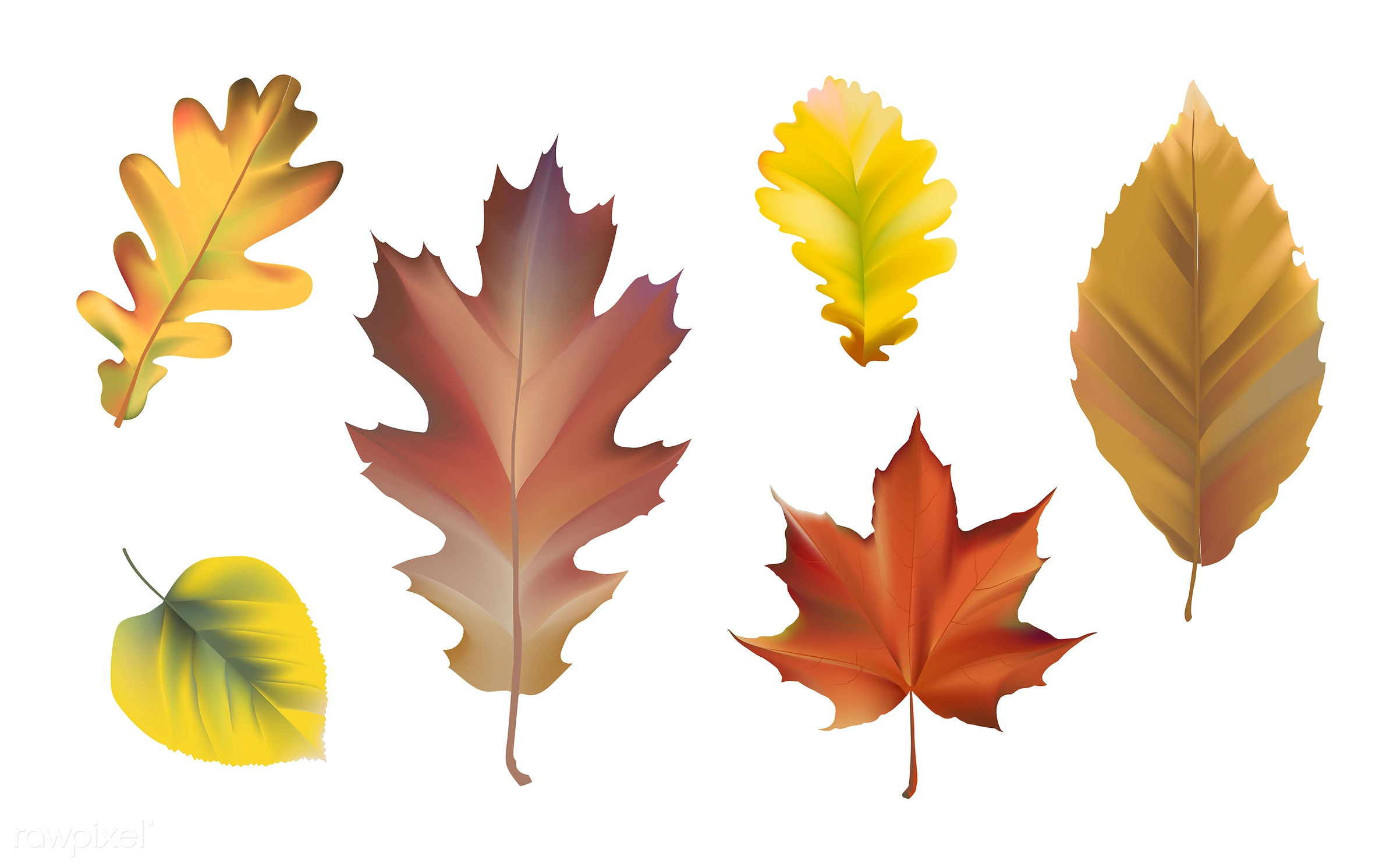Collection of autumn leaves vector - yellow, autumn, brown, collection, decomposing, decorations, decorative, fall, graphic...