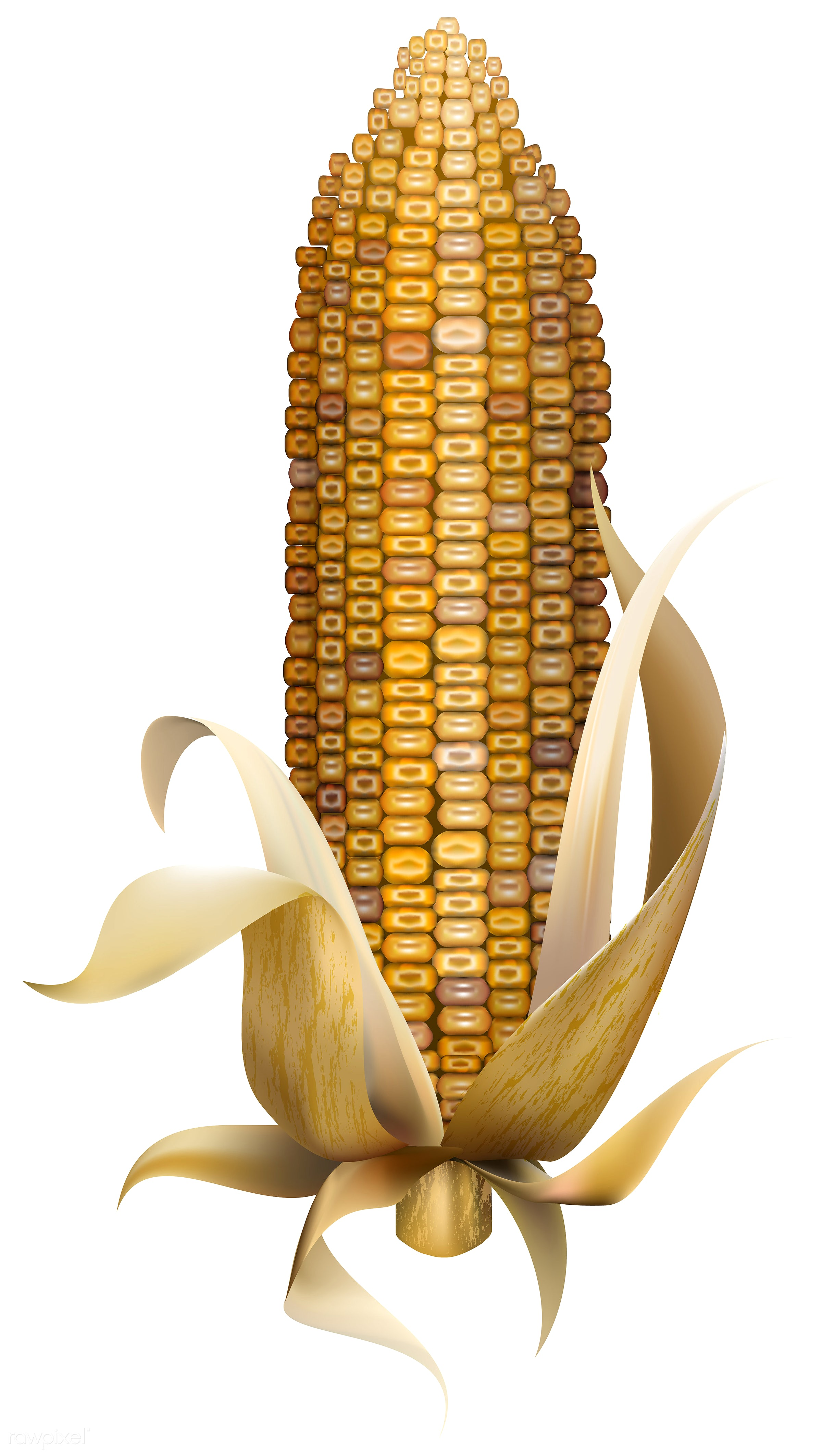 Illustration of corn isolated on white background - corn, autumn, celebration, crops, elements, fall, festival, graphic,...