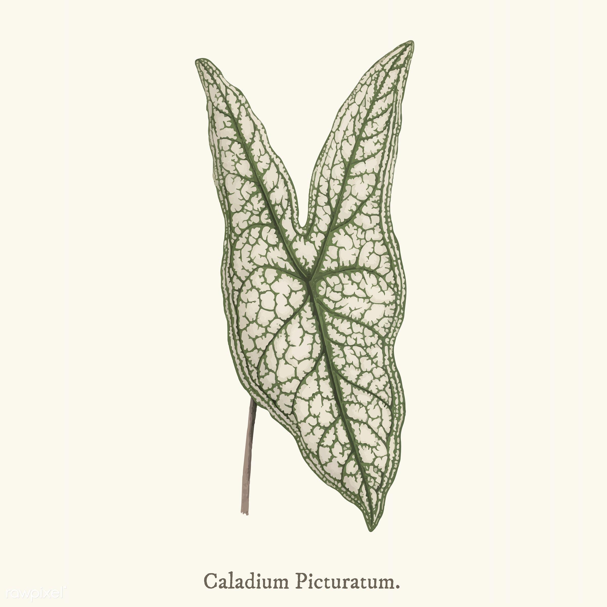 leaf, pattern, ancient, angel wings, antique, aphyllarum, belleymel, caladium, calcadium belleymel, decorate, decoration,...