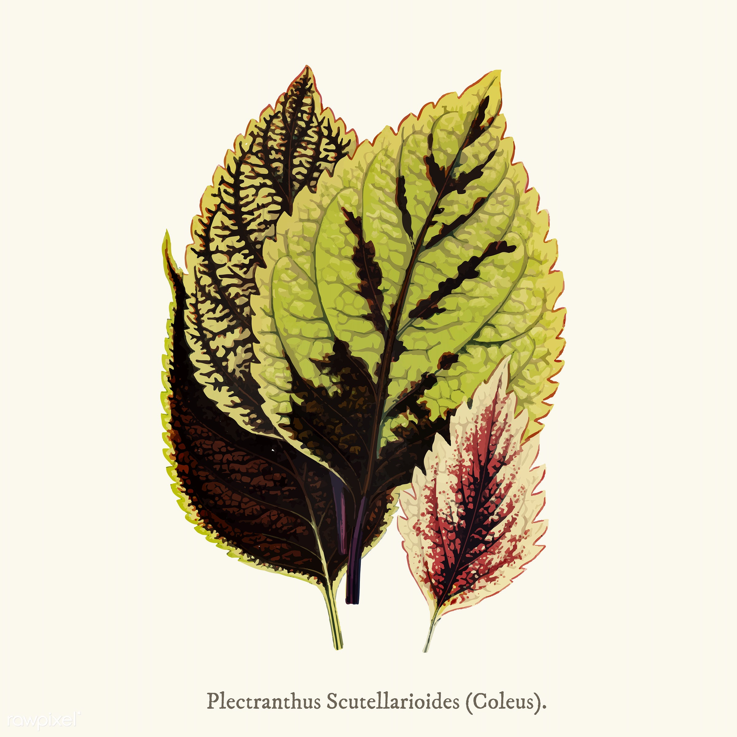 ancient, antique, background, c. marshalli, c. telfordi, coleus, coleus blumei, coleus murrayi, deadnettle, decorate,...