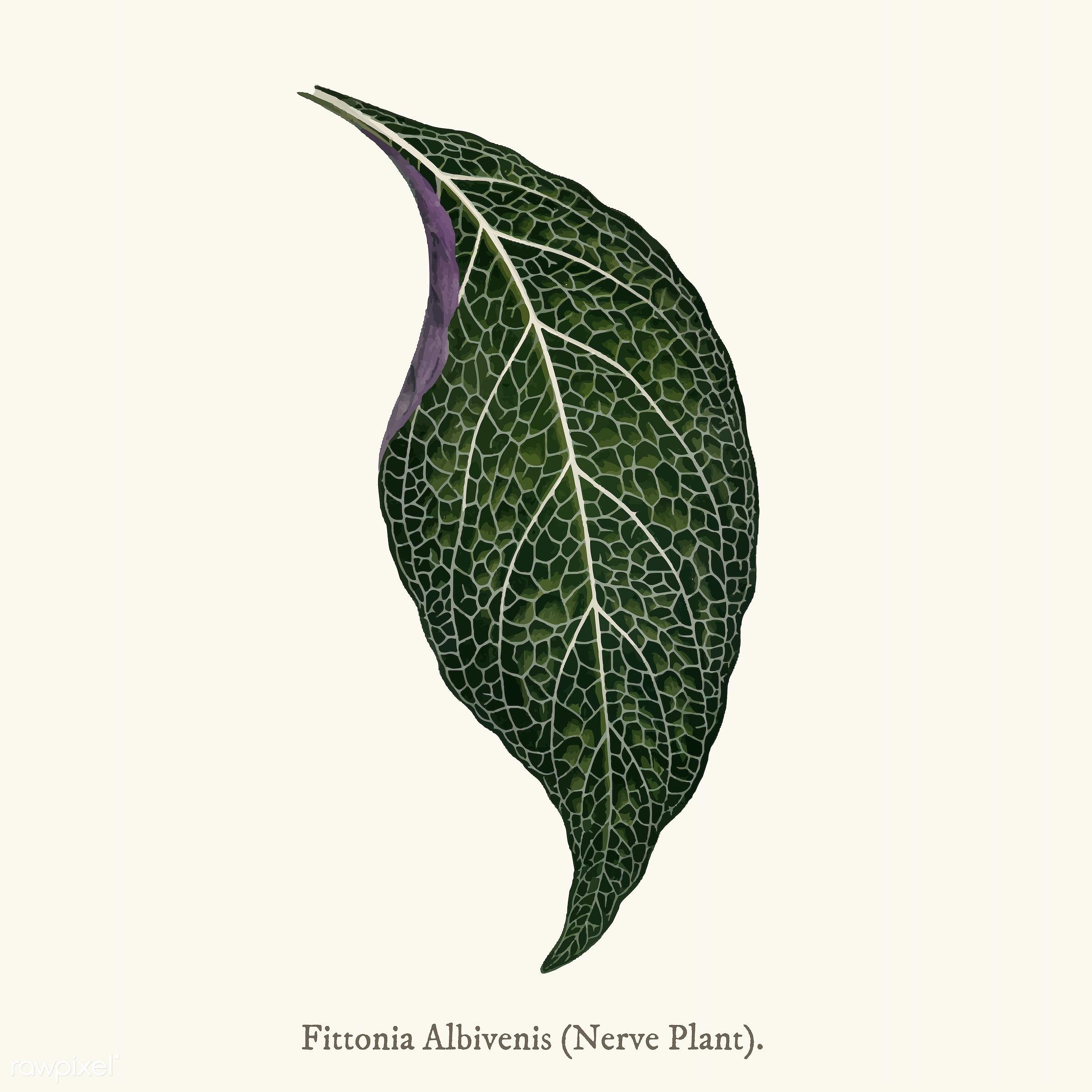 ancient, leaf, acanthaceae, adelaster, adelaster albivenis, albivenis, antique, background, decorate, decoration, design,...