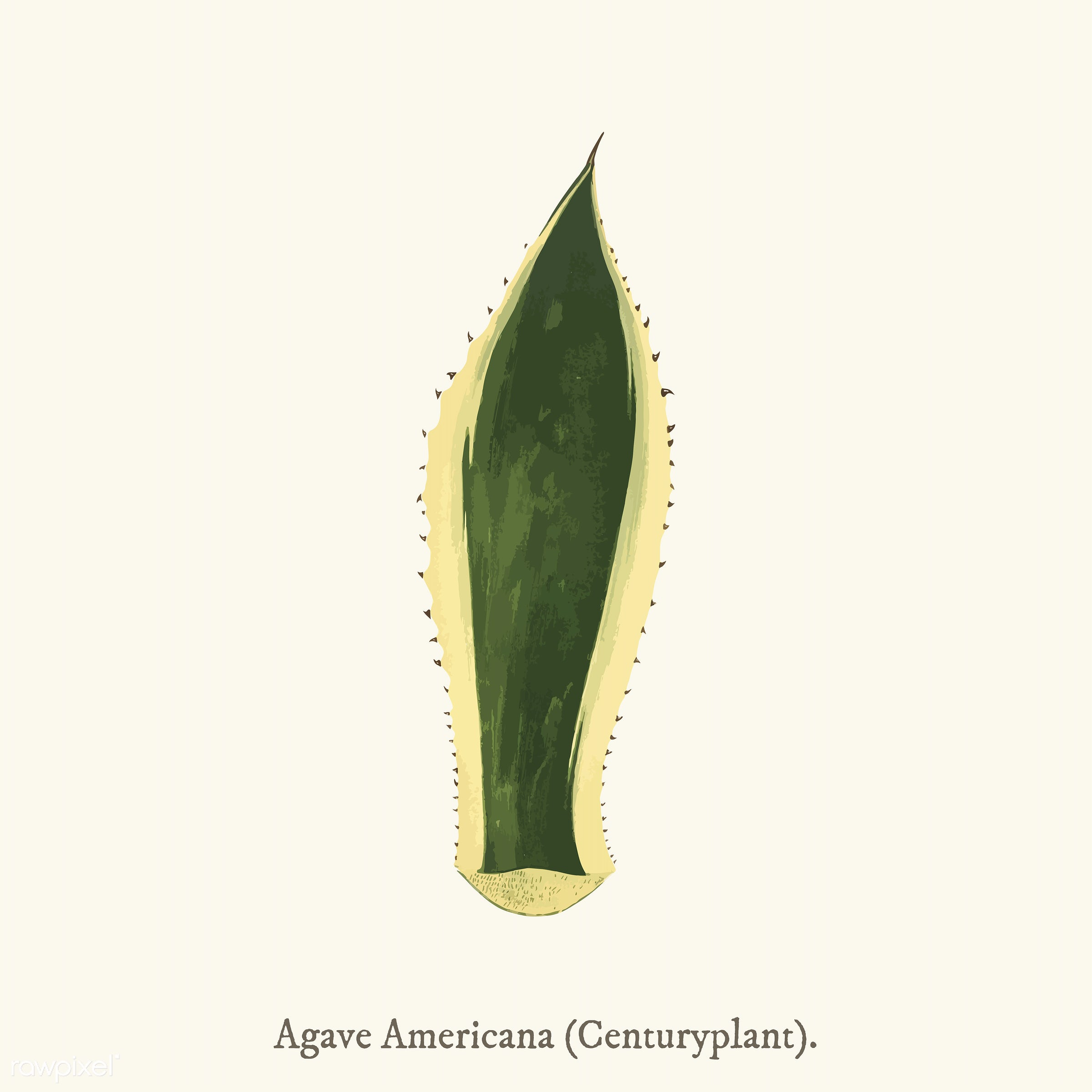 aloe, leaf, agave, agave americana, american aloe, americana, ancient, antique, background, century plant, centuryplant,...