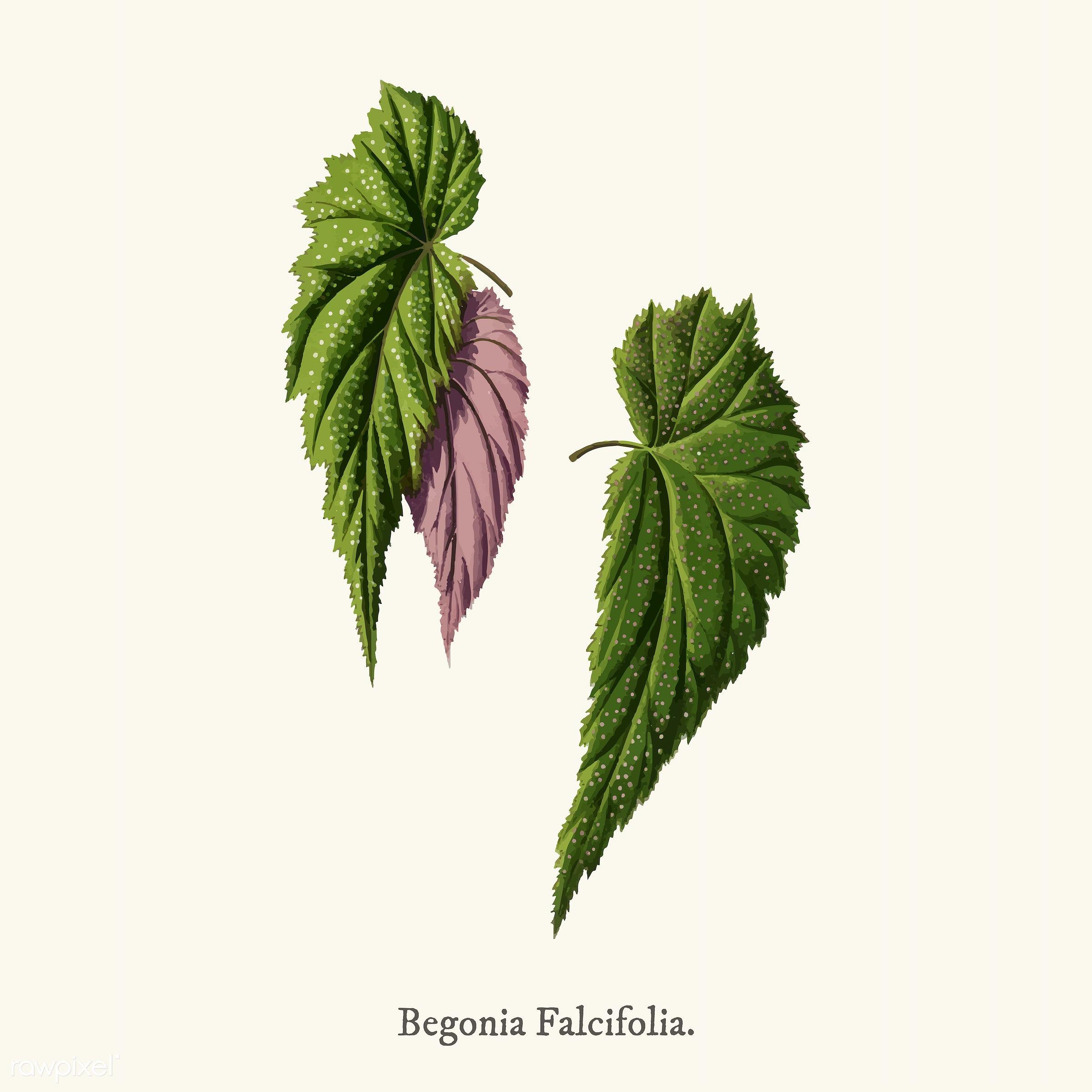 decoration, leaf, plant, ancient, antique, begonia, begonia falcifolia, decorate, design, drawing, falcifolia, graphic,...