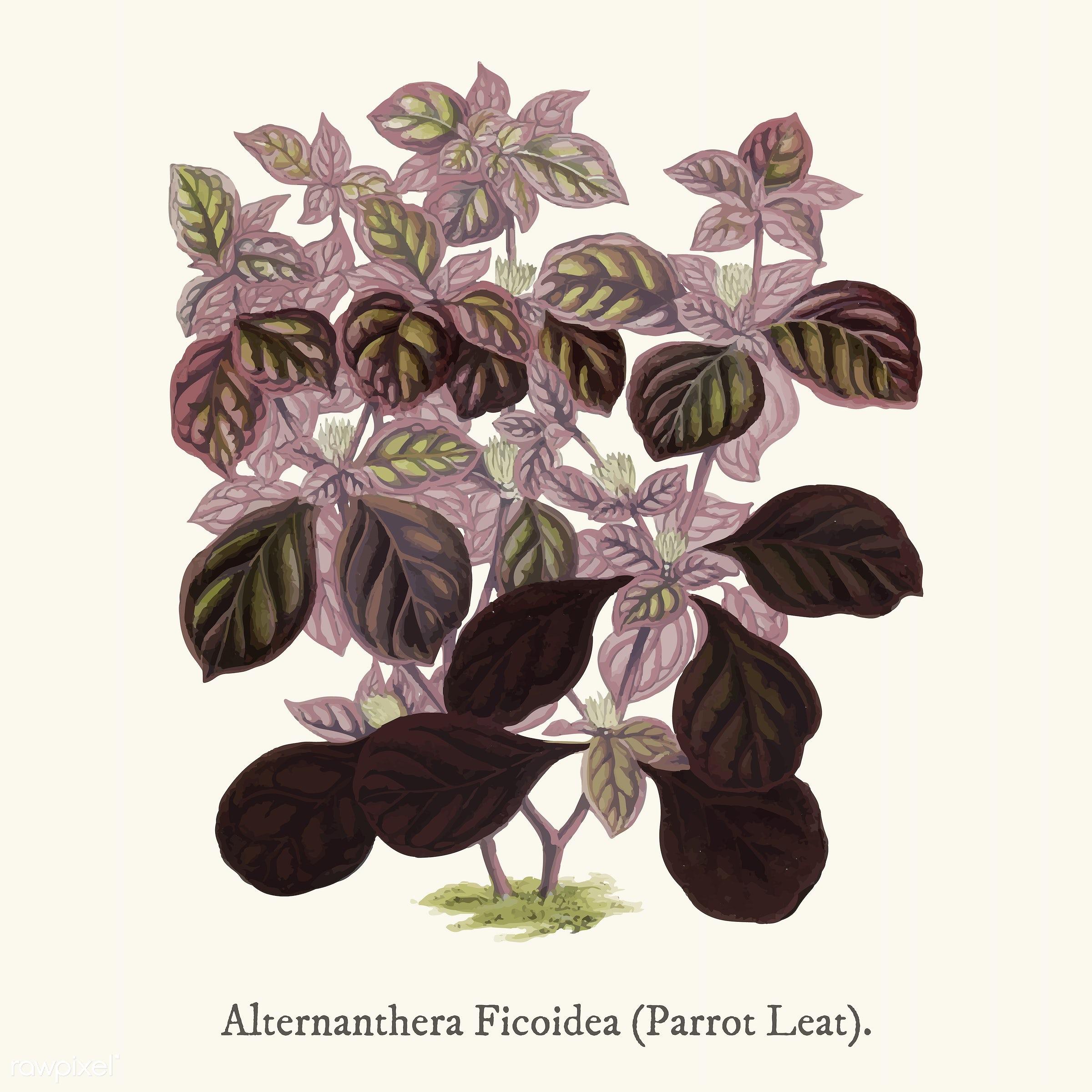 alternanthera ficoidea, alternanthera tenella, ancient, antique, decorate, decoration, design, drawing, ficoidea, graphic,...