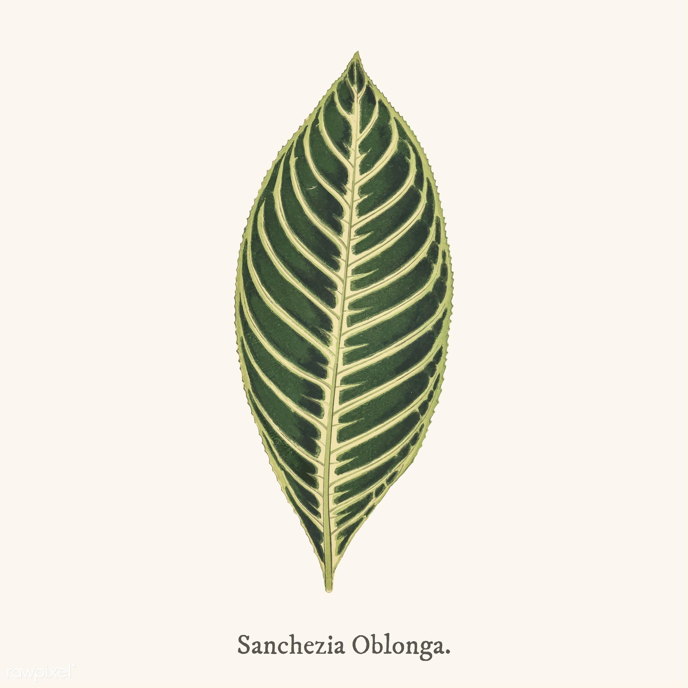 ancient, antique, decorate, decoration, design, drawing, graphic, illustration, leaf, leaves, nature, nobilis, old, pattern...