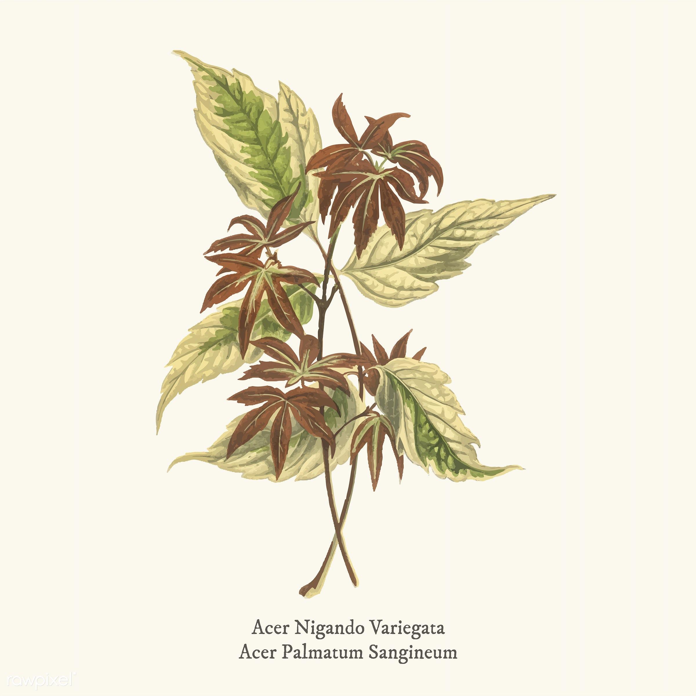 acer, acer negundo variegata, acer palmatum sanguineum, ancient, antique, decorate, decoration, design, drawing, graphic,...
