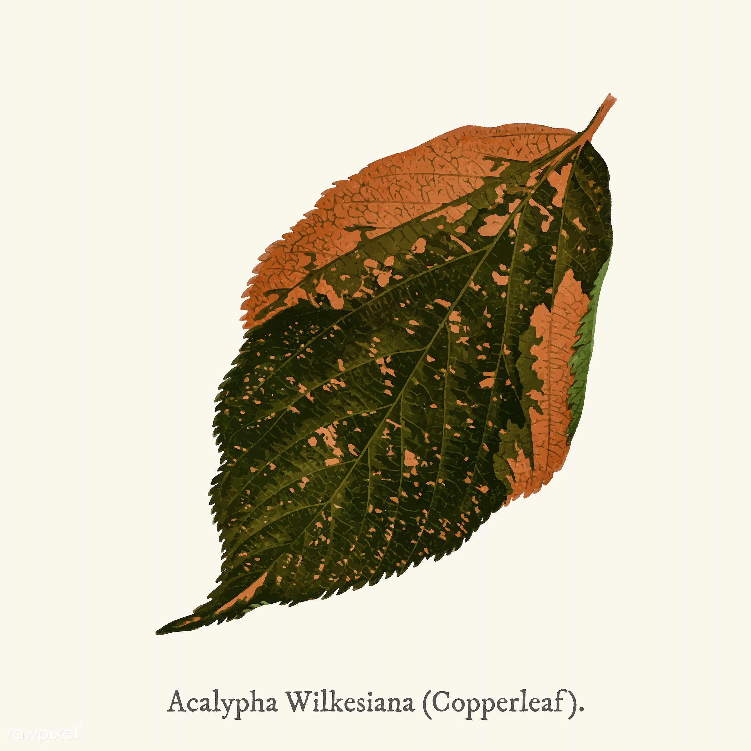 leaf, ancient, decoration, acalypha, acalypha tricolor, antique, decorate, design, drawing, graphic, illustration, leaves,...