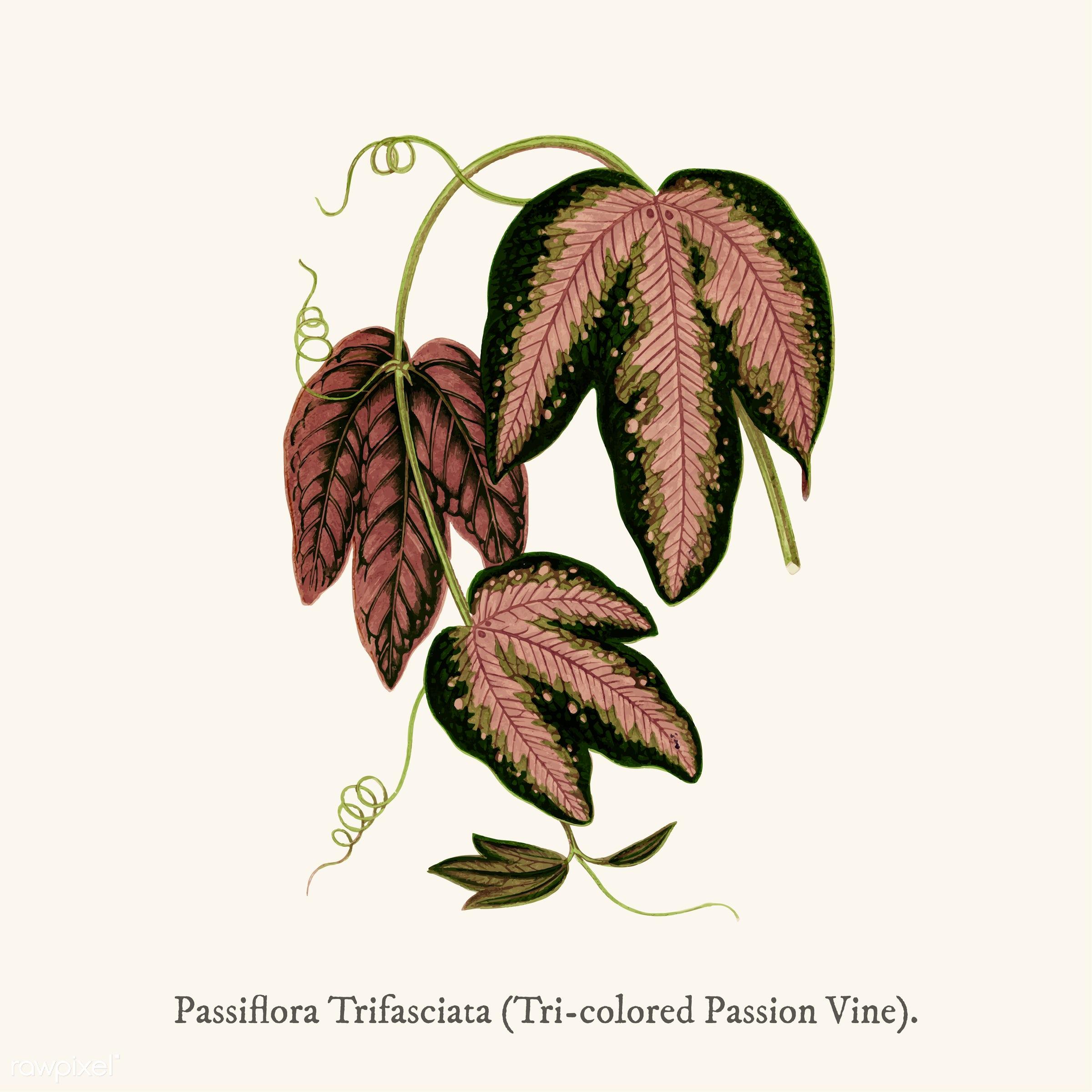 leaf, pattern, ancient, antique, decorate, decoration, design, drawing, graphic, illustration, leaves, nature, passiflora,...