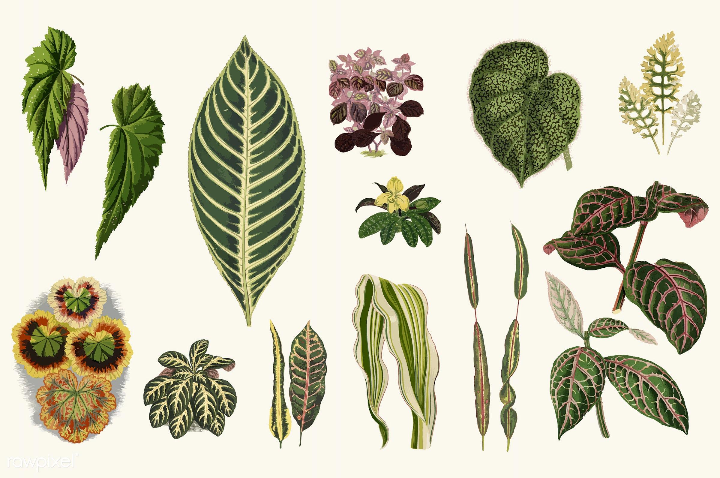 leaf, plant, alternanthera ficoides, ancient, antique, aphelandra maculata, begonia, begonia falcifolia, begonia strigillosa...