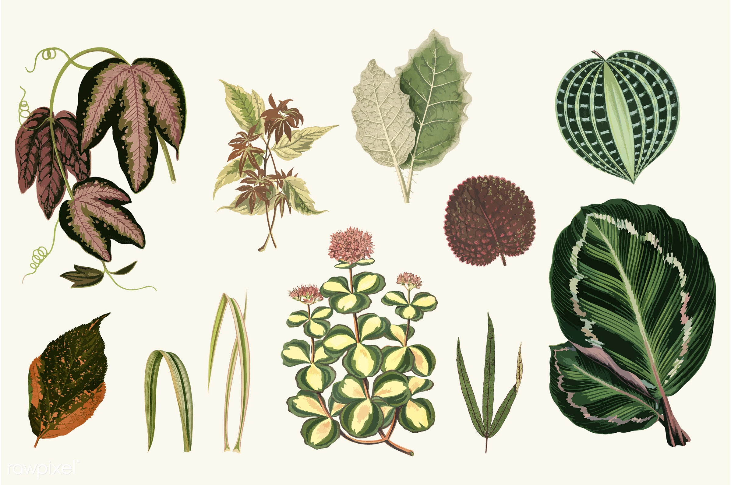 acalypha tricolor, aloifolia, collection, decorate, decoration, design, dichorisandra undata, drawing, exoniensis, genera...