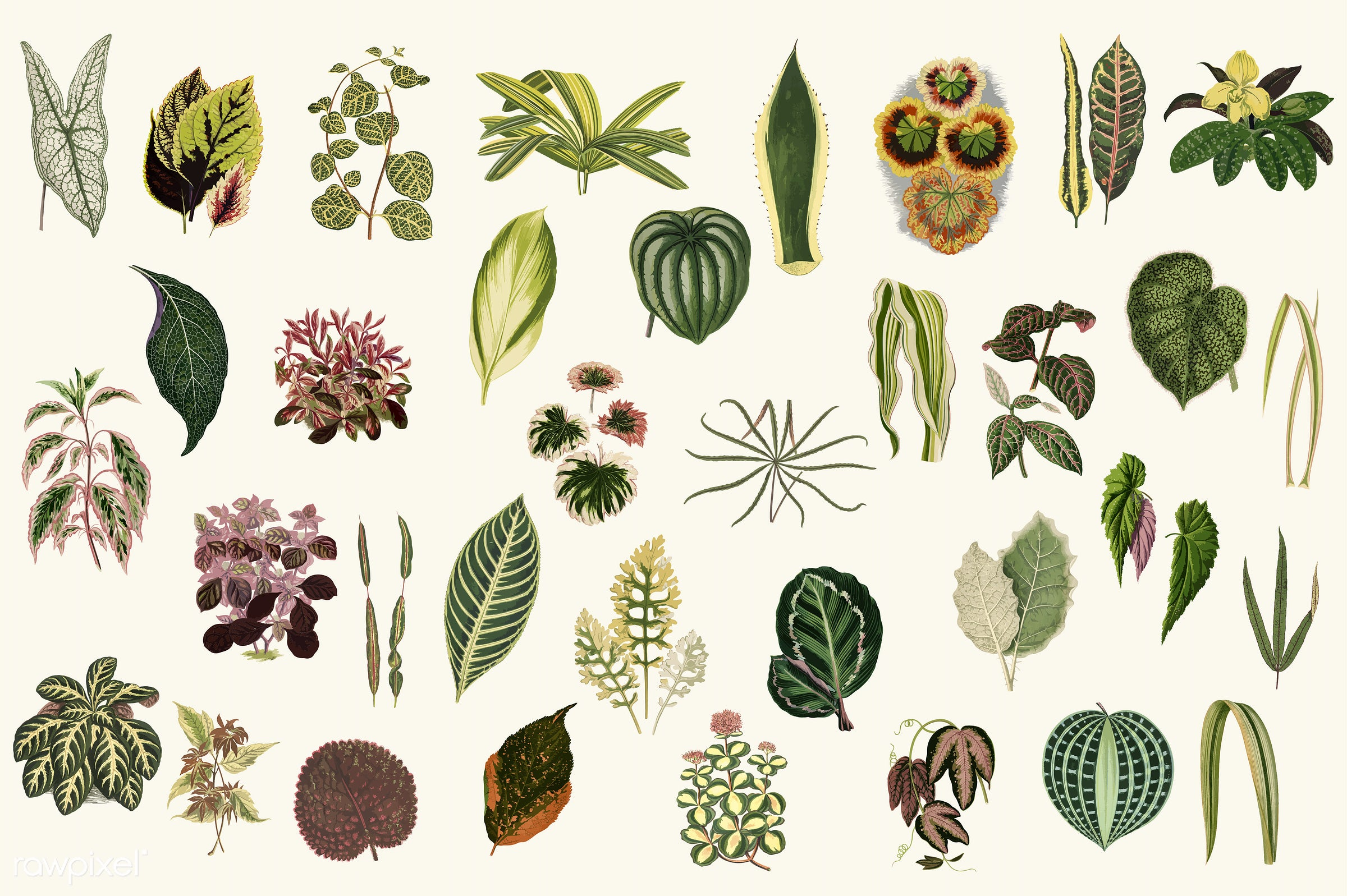 pattern, alternanthera, ancient, antique, aphelandra maculata, background, begonia, collection, coralline fruticose,...