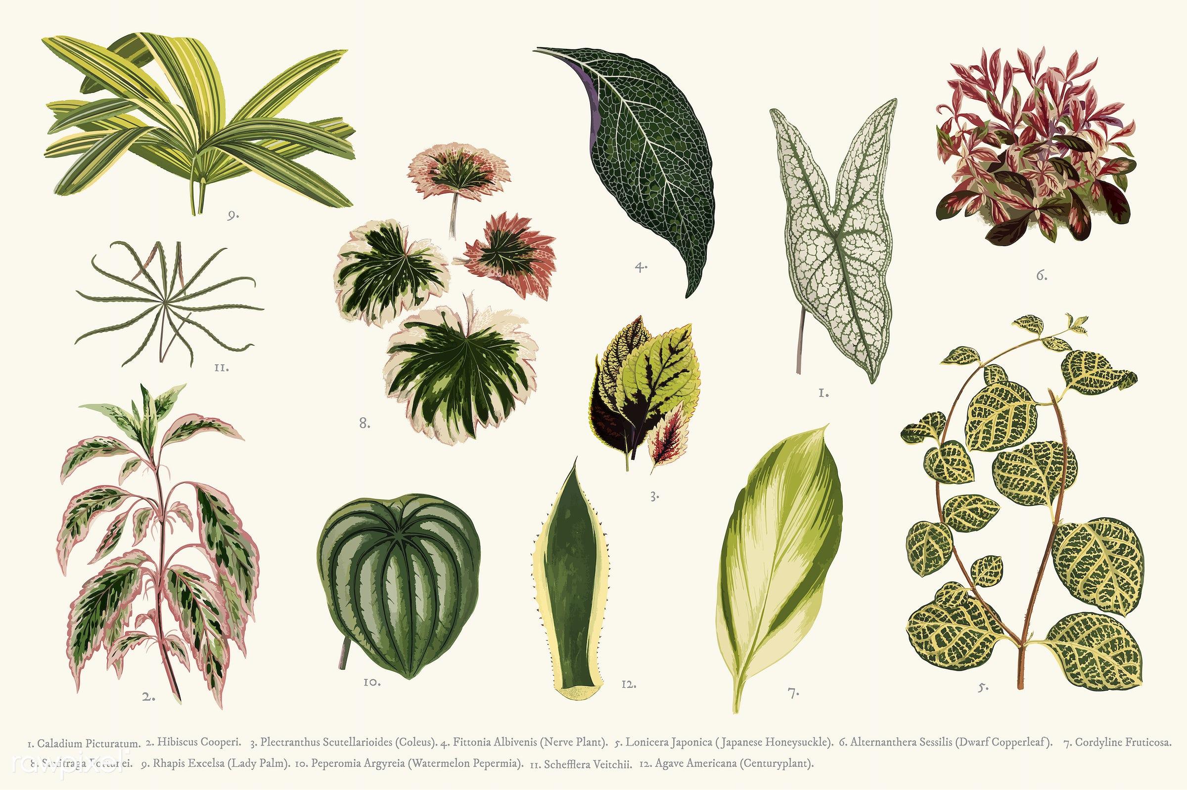 agave americana, alternanthera sessili, ancient, antique, caladium picturatum, centuryplant, coleus, collection, coralline...