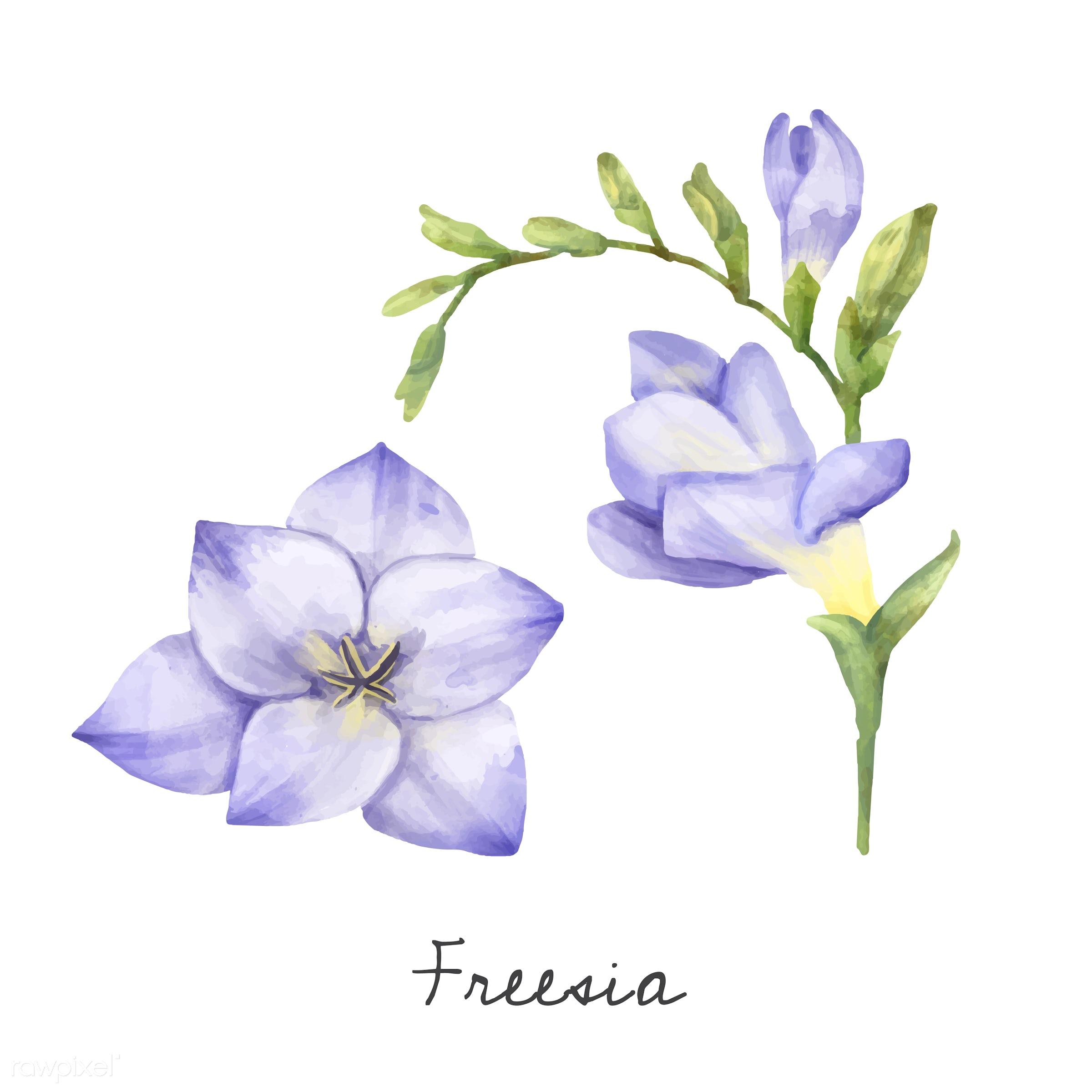 Illustration Of Freesia Flower Isolated On White Background Id