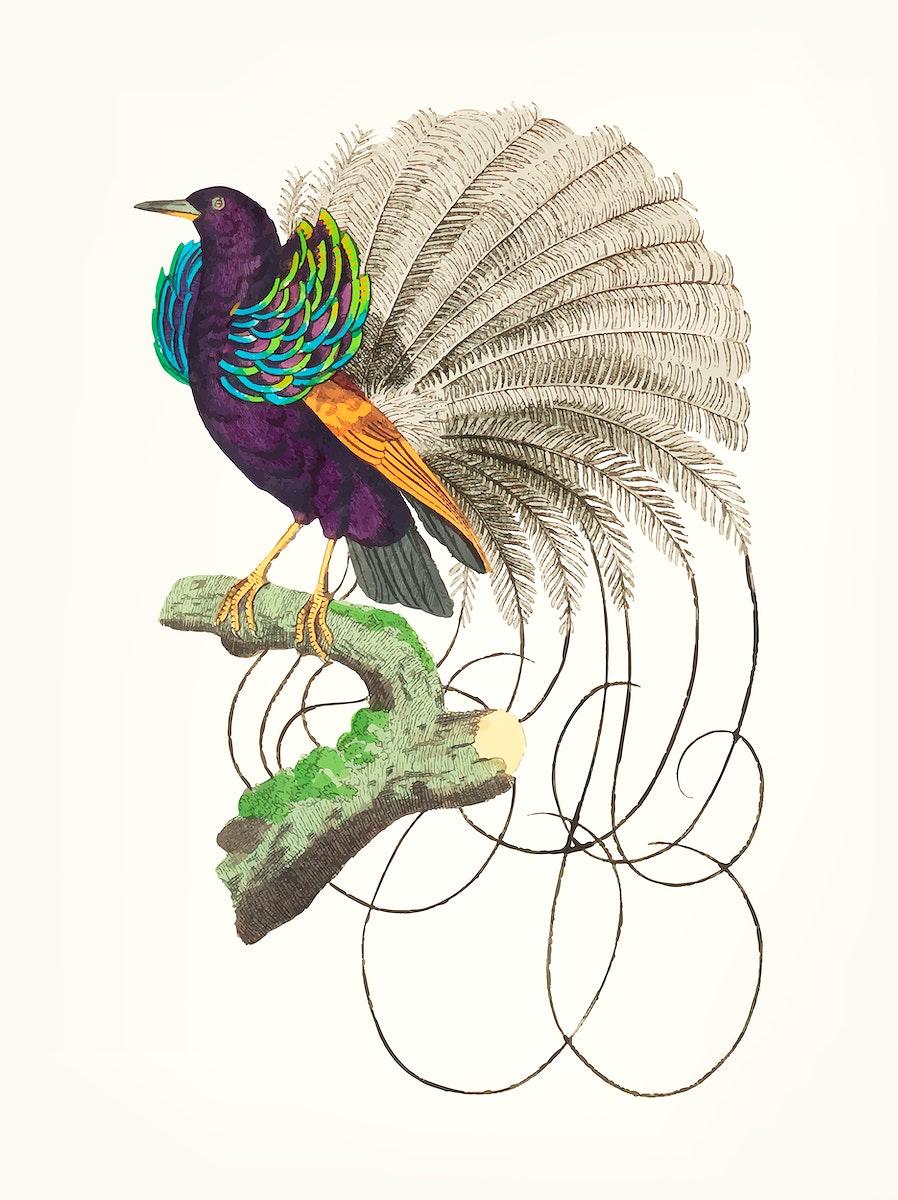 Vintage illustration vailla of ntian paradise bird