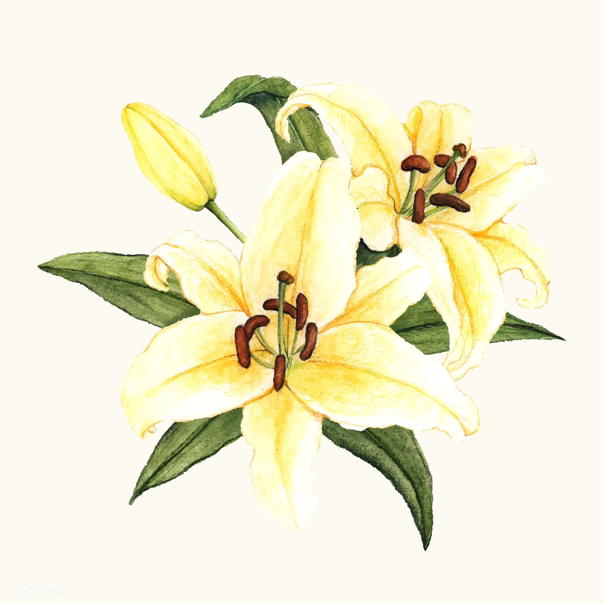 Hand Drawn White Lily Flower Isolated Id 399570