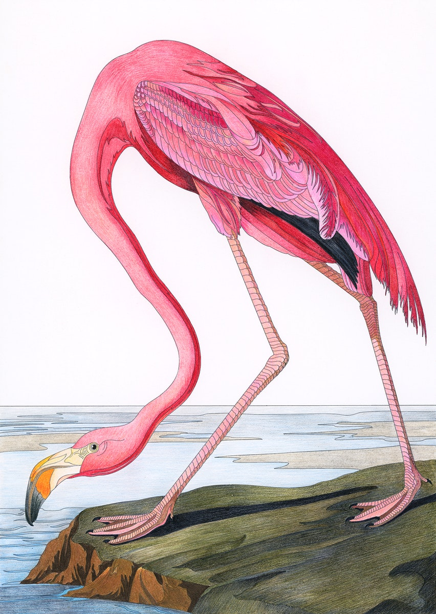 Pink Flamingo from Birds of America (1827) by John James Audubon. Adult coloring page.