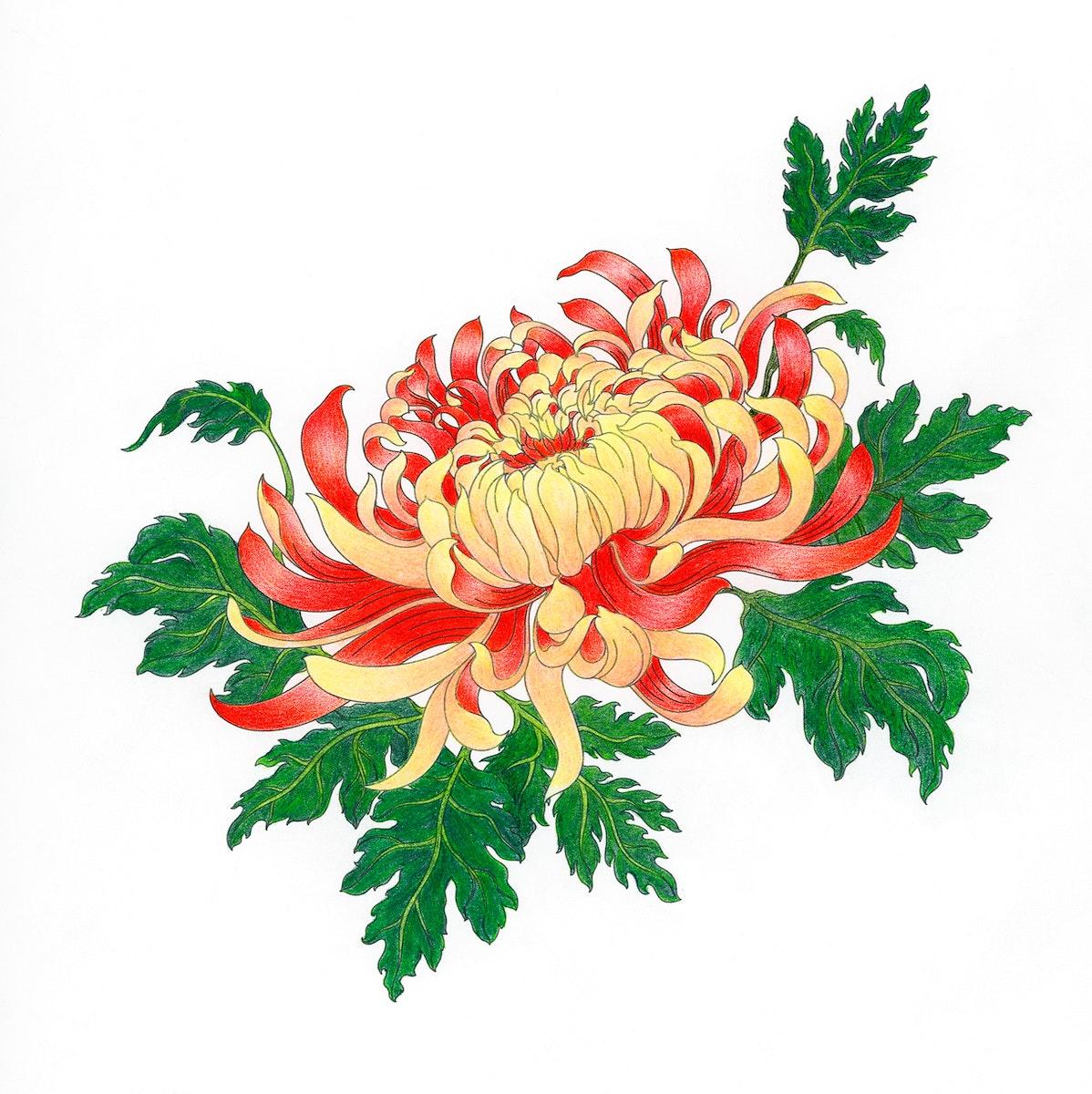 Chrysanthemum flower design adult coloring