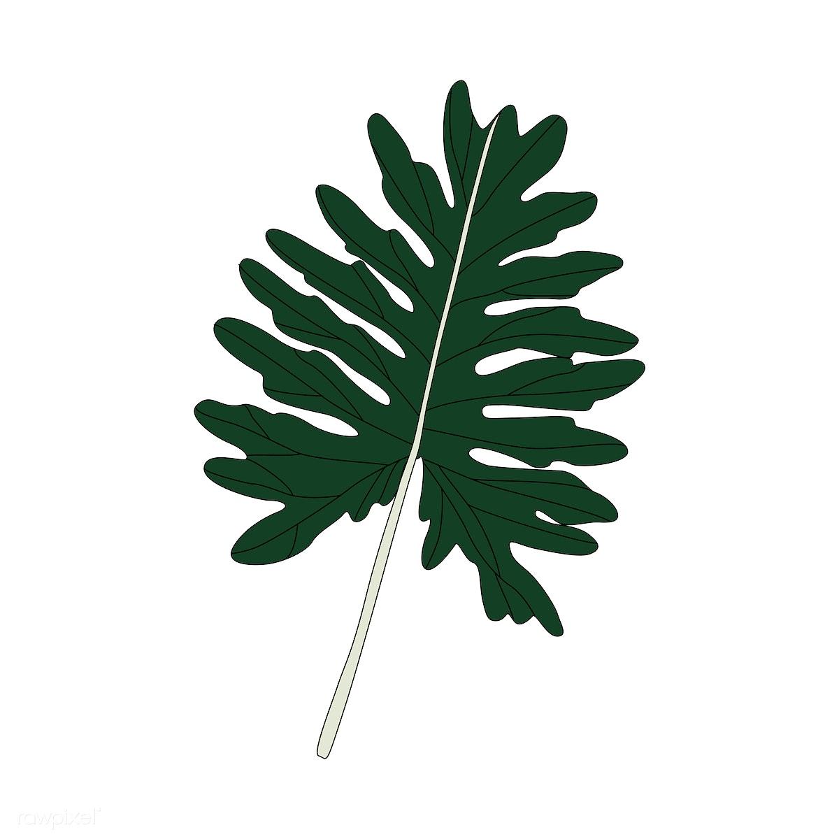 Illustration of Philodendron Xanadu leaf | Free stock