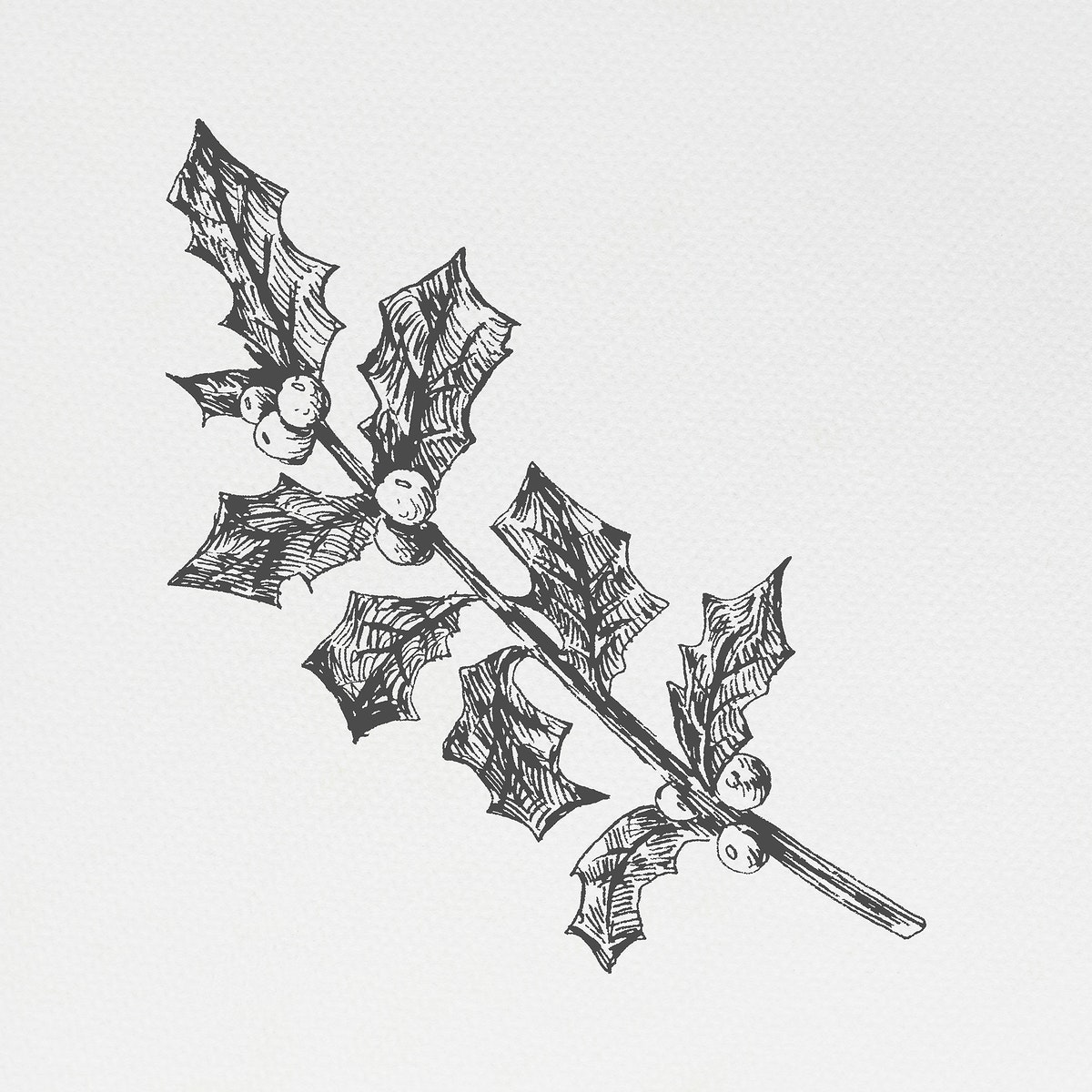 Hand drawn holly branch illustration