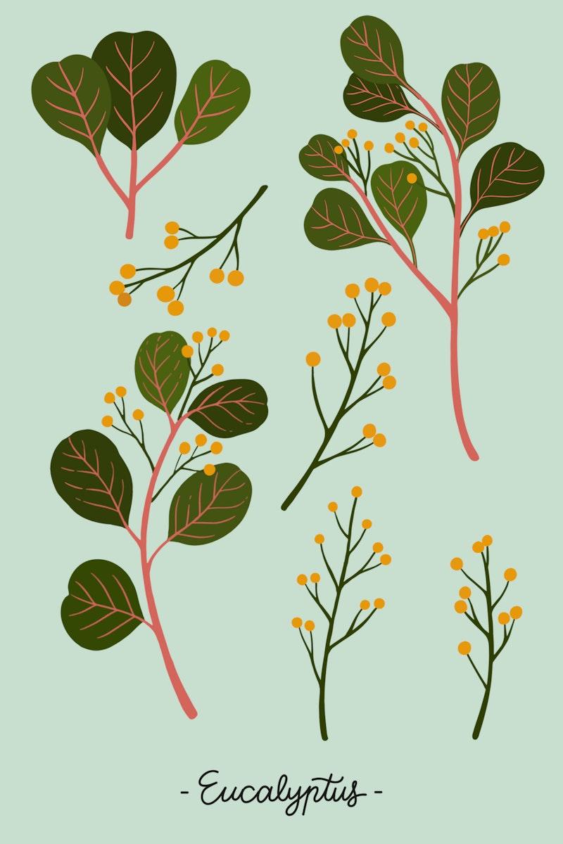 Eucalyptus on a green background illustration